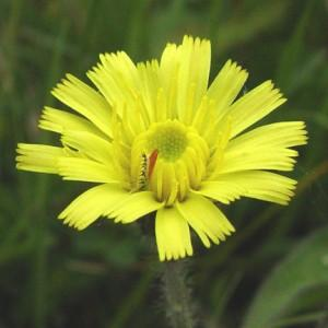 Hawkweed, Mouse ear