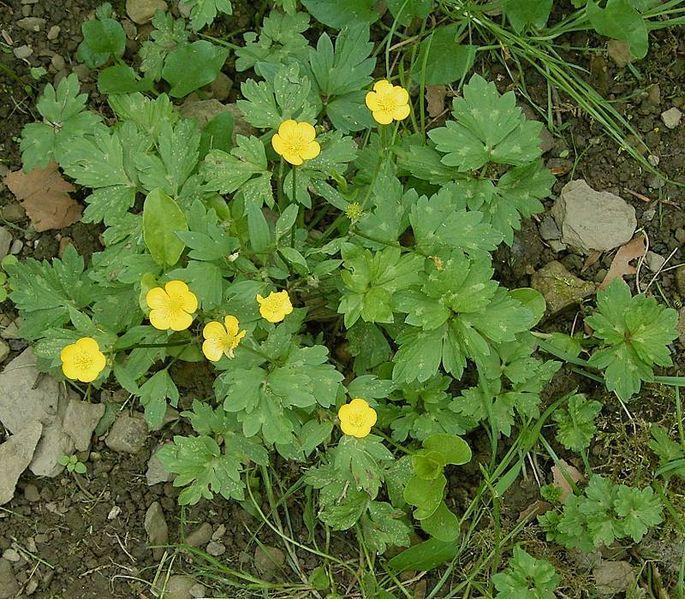 lawn maintenance, lawn weeds - Ranunculus repens