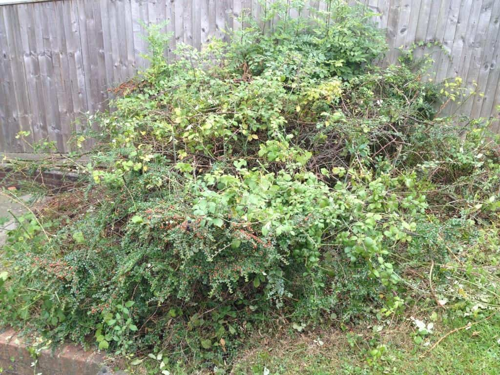 brambles and unwanted shrub need to be removed