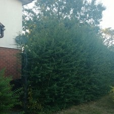 firethorn hedge before cut