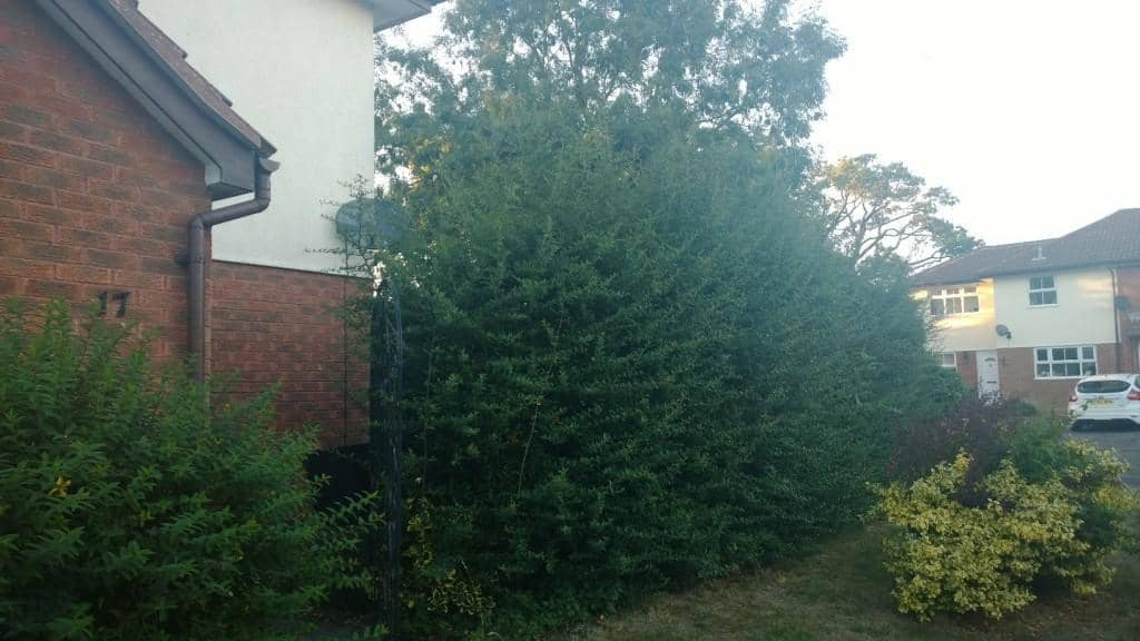 pyracantha - firethorn hedge trimming