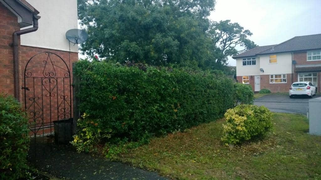 firethorn hedge height reduction