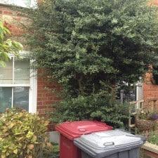 overgrown firethorn tree