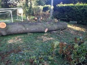 big tree fell over