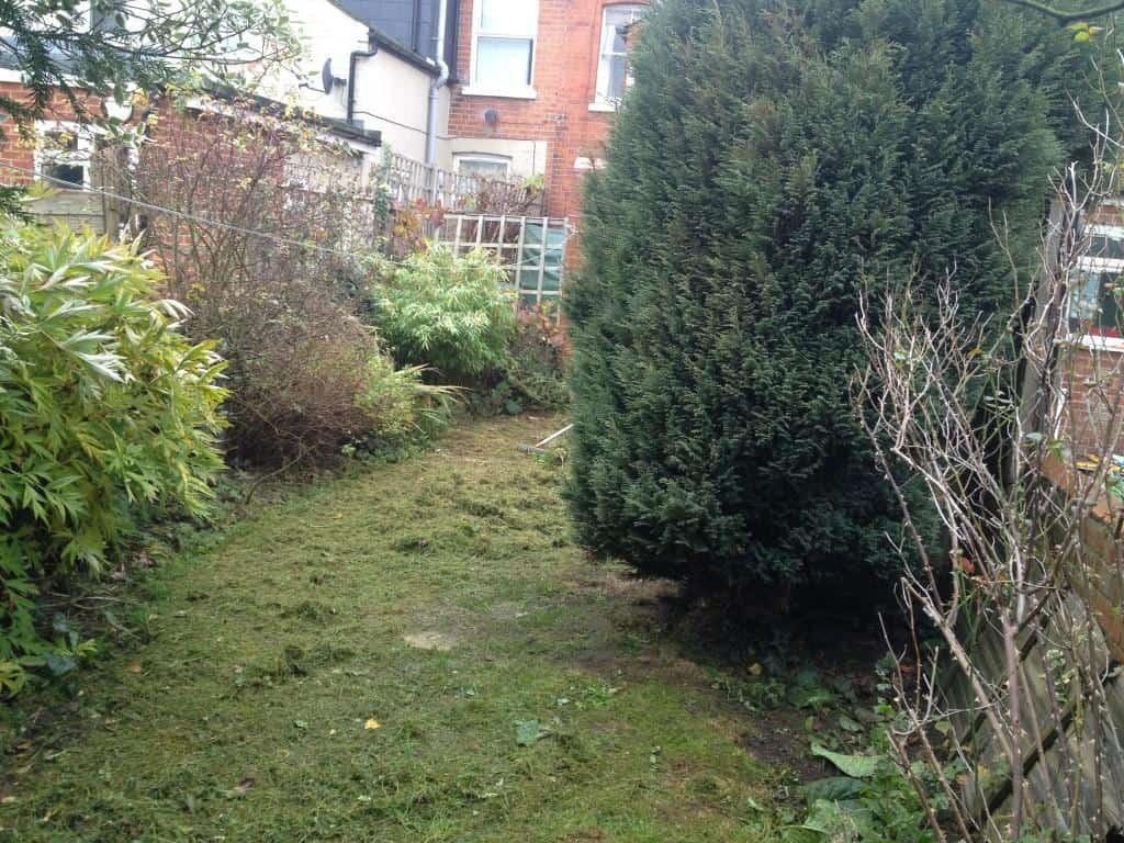 garden tidy up - overgrown conifer