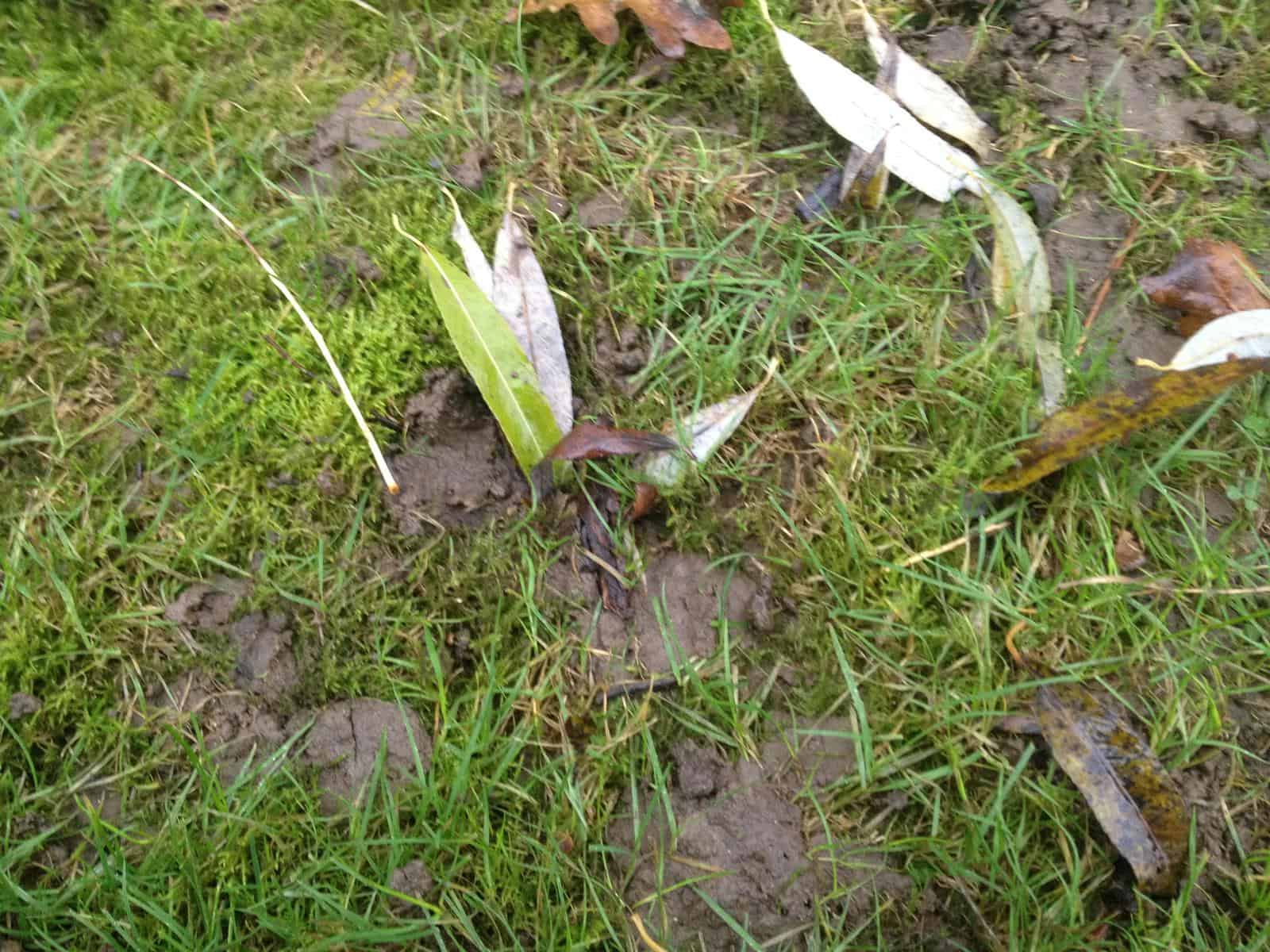 earthworm cast and leaf partially dragged into a burrow