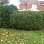 hedge before cut
