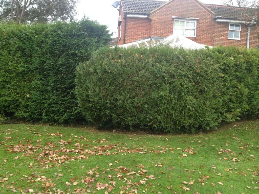 hedge before cut