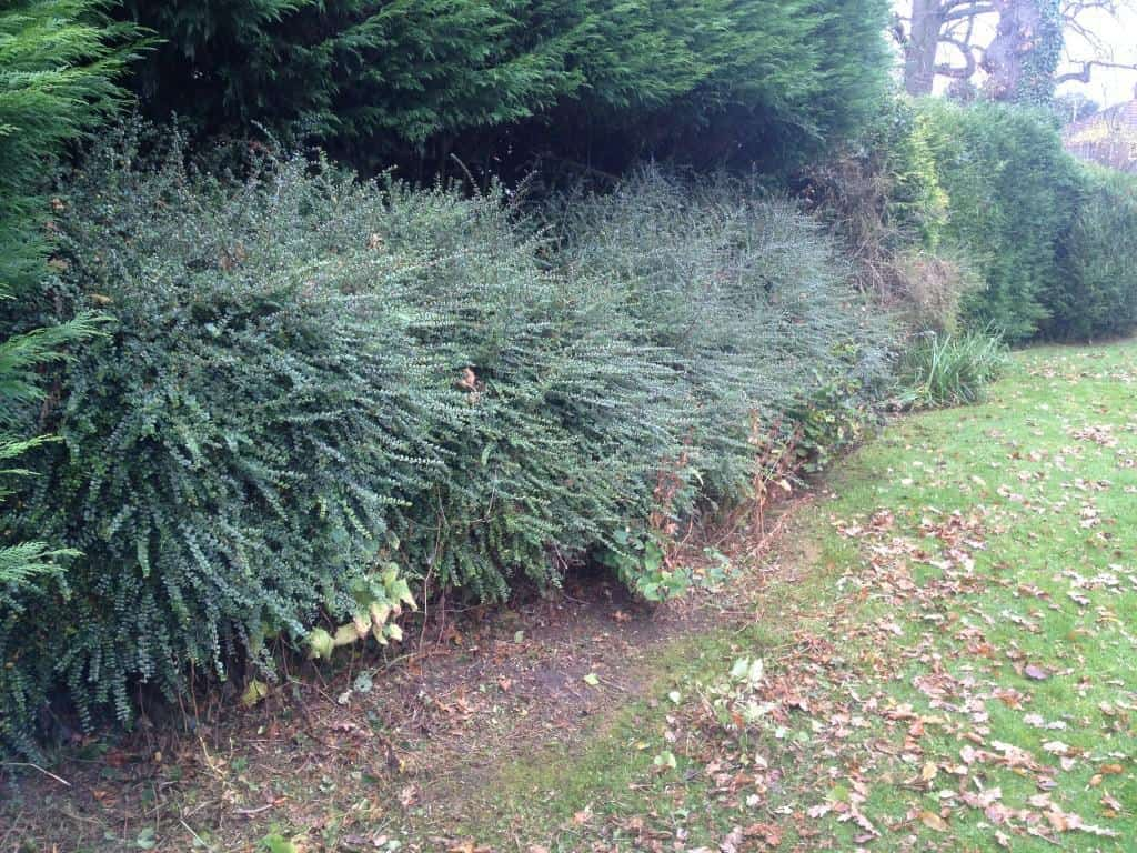 hedges before hedge cut