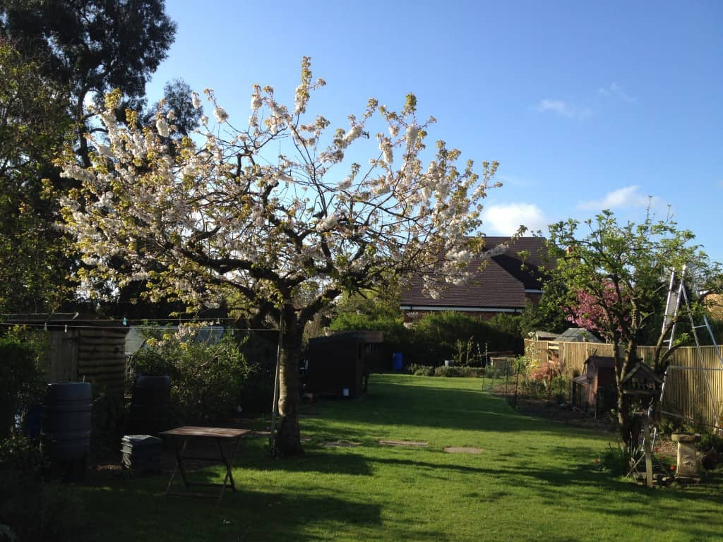 fruit tree after last year pruning