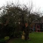 apple tree before pruning