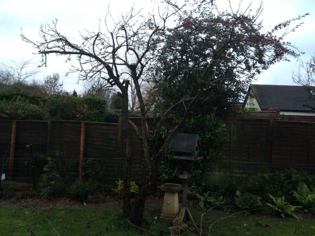apple tree after pruning