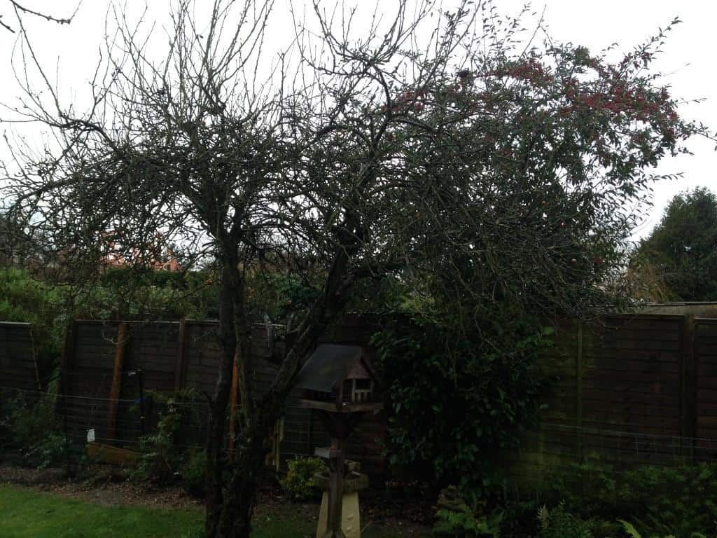 apple tree before pruning