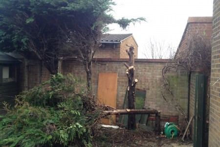 garden clearing-conifers to be removed