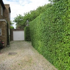 hedge cutting - freshly cut hedge