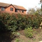 new photinia hedge