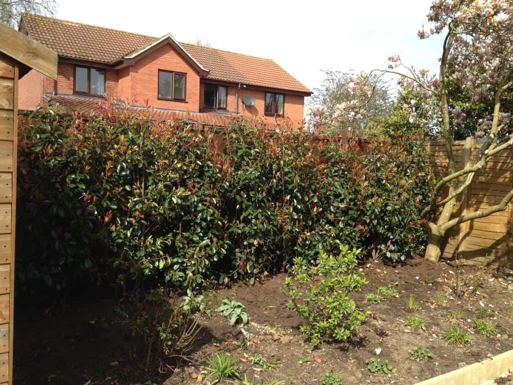 new photinia hedge