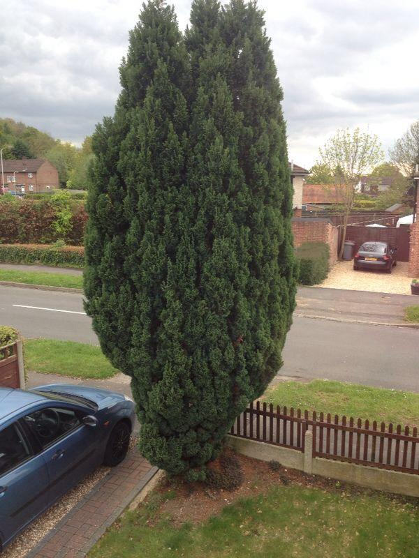 conifer to be removed - stump removal