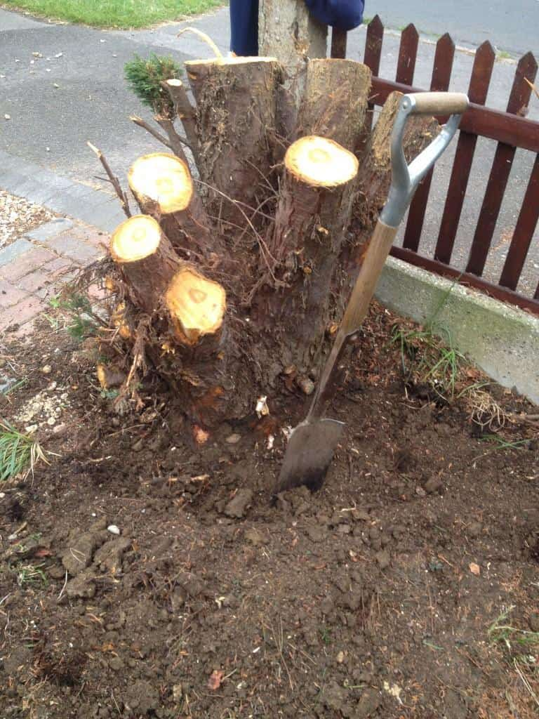 tree stump before removal