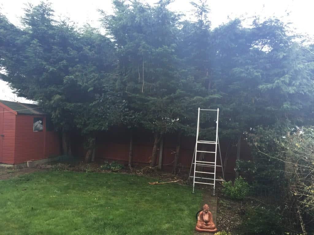 Sunday conifer hedge reduction / trim