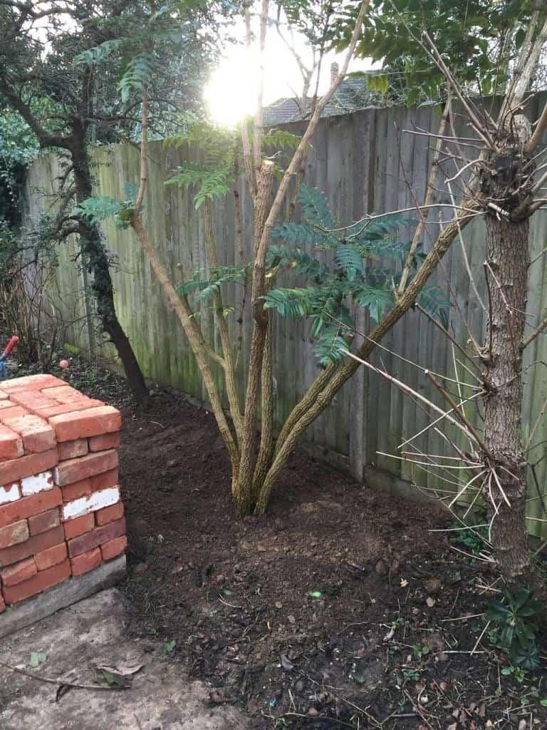 shrub transplanted