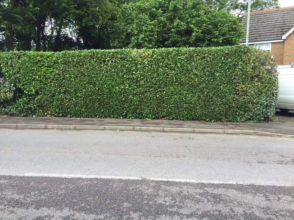laurel hedge before trimming