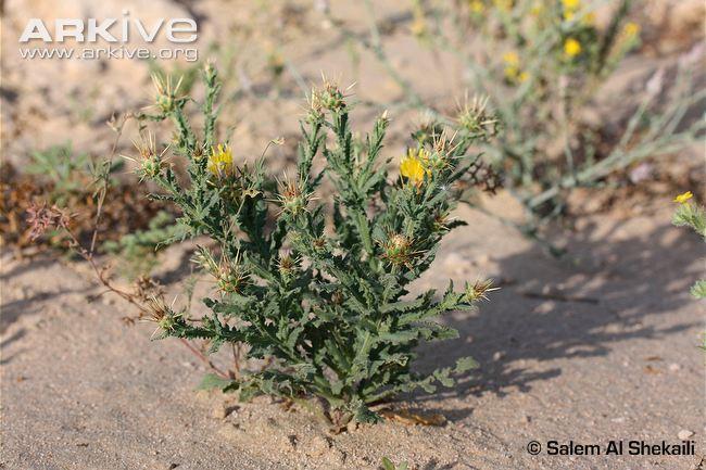 Centaurea species