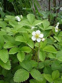 Fragaria  species