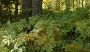 Pteridium aquifolium