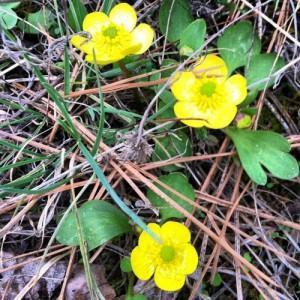 Ranunculus spp.