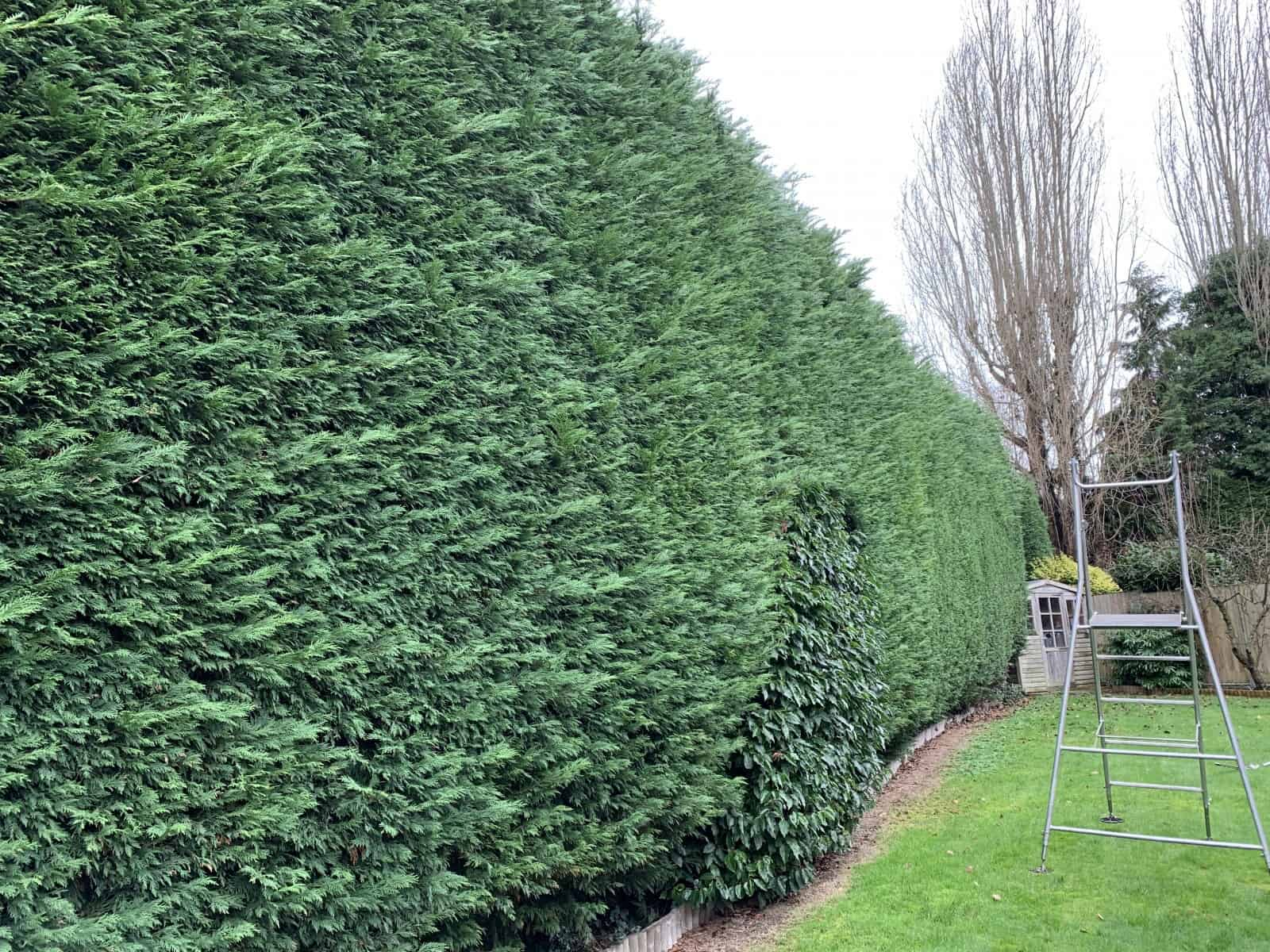 big hedges trimmed