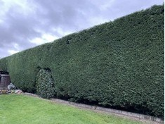 hedge cutting / hedge trimming garden service