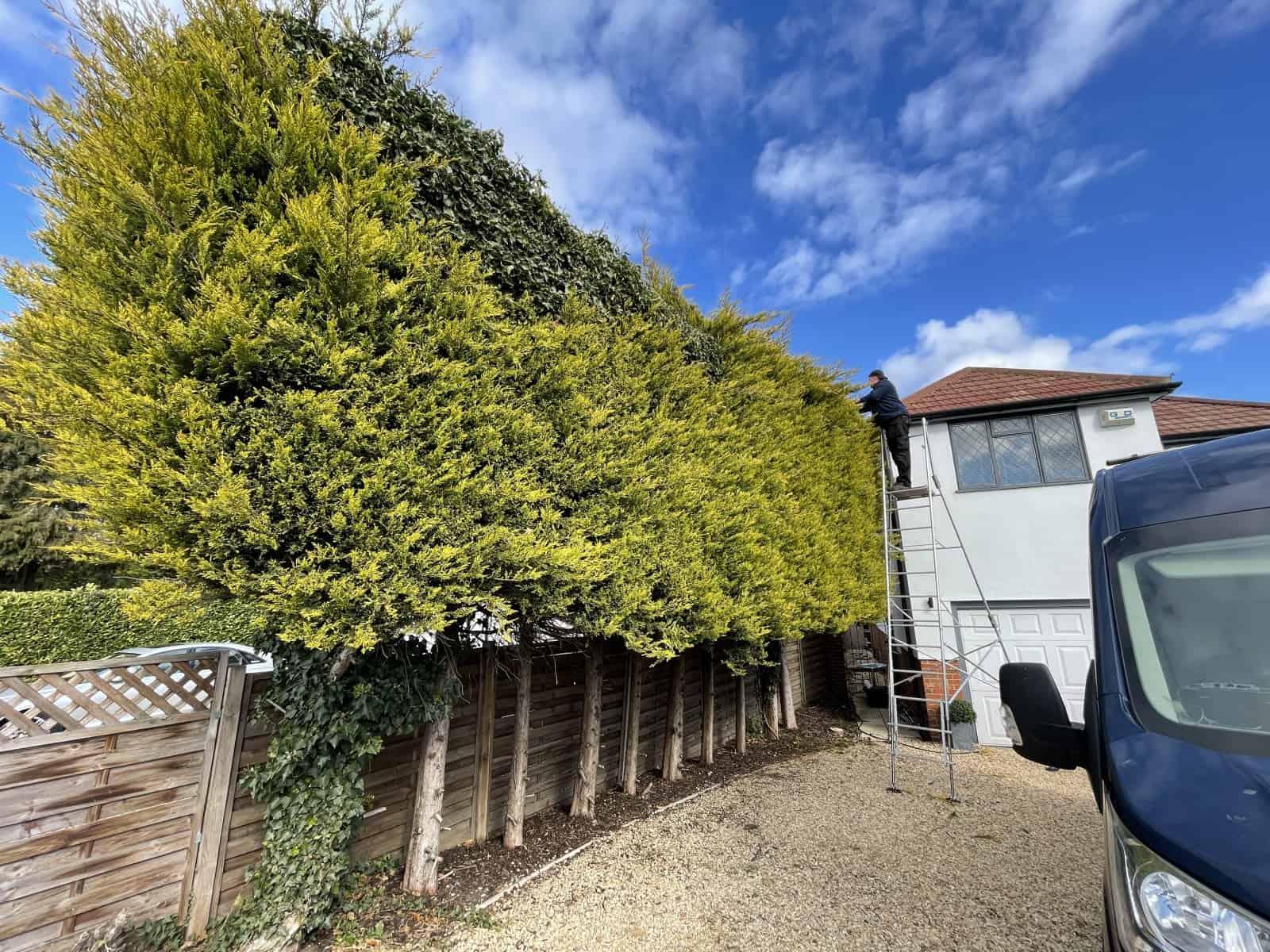 High hedge cutting service